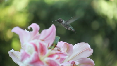 A hummingbird feeds from pink Asiatic lilies in the summer