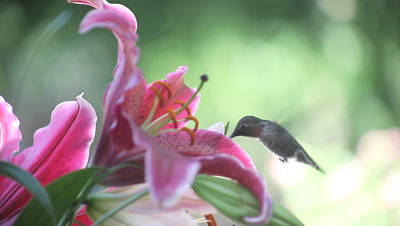 a hummingbird feeds on colorful lilies