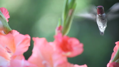 close-up of hummingbird in coral-colored gladiolas