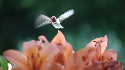 A ruby-throated hummingbird catches the light as he feeds among orange lilies