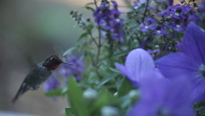 a ruby-throated hummingbird among blue balloon flowers and angelonia