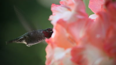 Hummingbird feeds in pink and white gladiolas.