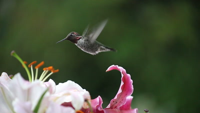 A ruby-throated hummingbird feeds in Asiatic lilies