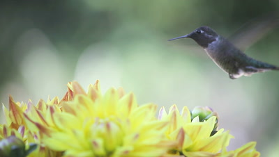 a ruby-throated hummingbird in yellow-orange dahlia flowers