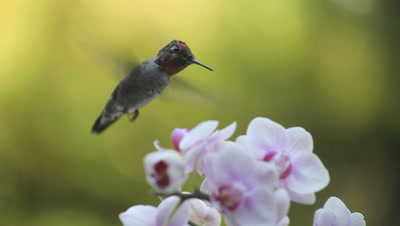 a hummingbird in pink and white orchids