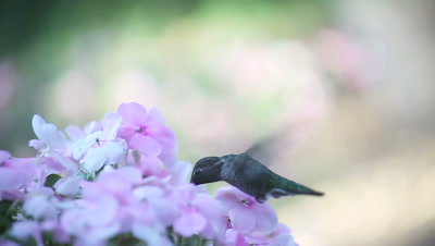 impatiens flowers with a ruby-throated hummingbird