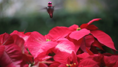 A hummingbird feeds among all-red and red-and-white poinsettias while keeping an eye out for competitors.