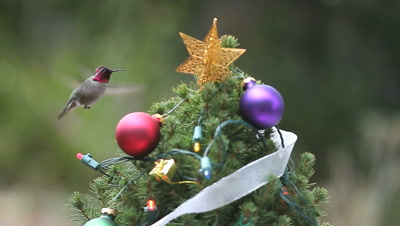 Hummingbird finds food at a small decorated Christmas tree.