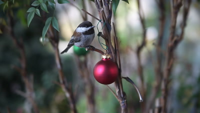 A friendly chickadee on a Christmas-decorated bush comes to the photographer's hand for a peanut.