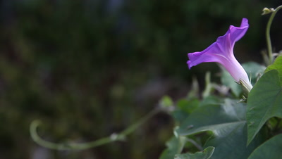 a purple and white morning glory with leaves and a vine tendril