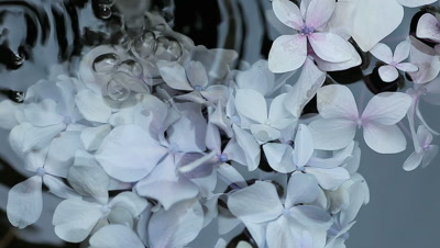 Pale hydrangea flowers floating and rotating in flowing water