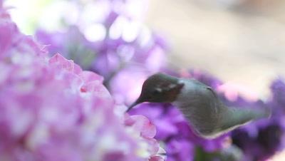Hummingbird with hydrangeas
