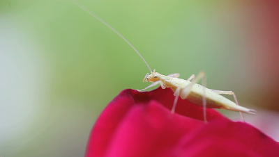Pale green katydid resting on a red rose