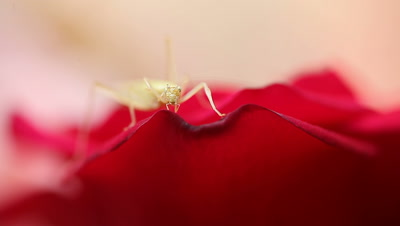 Katydid on a red rose cleans its leg.