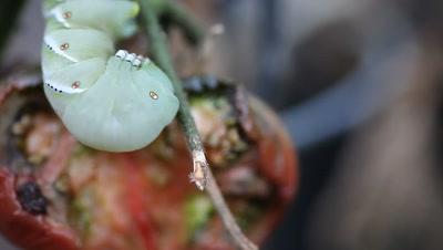 Macro of tomato or tobacco hornworm next to a half-eaten tomato