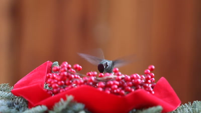 Ruby-throated hummingbird hovers and feeds with Christmas greenery, berries and a red velvet ribbon.