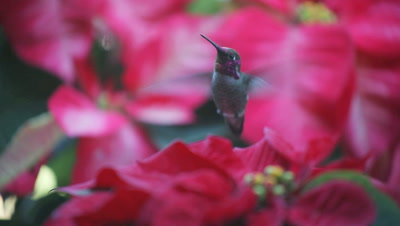 A hummingbird feeds in the center of several potted poinsettias.