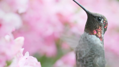 Extreme closeup of hummingbird with wing sounds