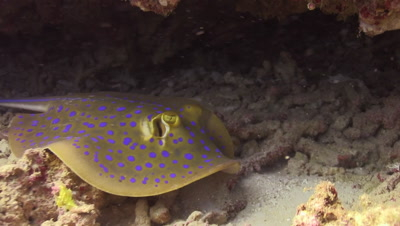Blue spotted lagoon ray hiding under a ledge