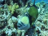 Approaching Titan Triggerfish On Reef