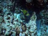 Titan Triggerfish On Reef