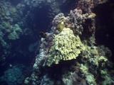Pair Of Titan Triggerfish On Reef