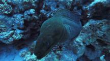 Moray Eel Pokes Out Of Hole In Reef