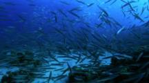School Of Yellowtail Barracuda