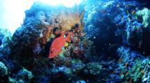 Squirrel Fish On Reef