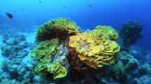 Stand Of Yellow Cabbage Coral