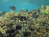 Triggerfish Gather On Top Of Hard Coral Reef