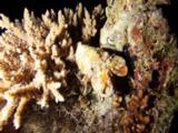 Slipper Lobster On Reef At Night