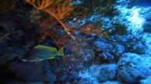Anthias And Other Fish Gather On Coral Reef