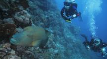 Bumphead Wrasse Swims Slowly Over Reef Followed By Two Divers