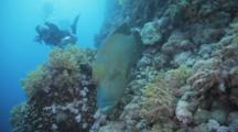 Bumphead Wrasse Swims Slowly Over Reef Followed By Diver
