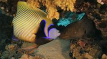 Emperor Anglefish Hangs Out With Moray Eel Under Ledge
