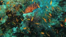 Anthias, Coral Grouper Gather On Reef With Soft Corals