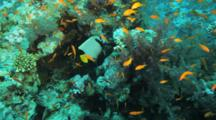 Emperor Anglefish Swims Among Anthias On Reef