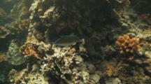Moray Eel In Hole On Reef, Napoleon Wrasse Passes Through
