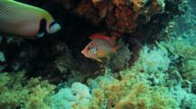 Emperor Anglefish And Squirrel Fish Under Ledge