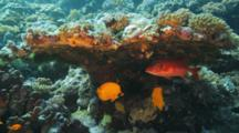 Masked Butterflyfish And Squirrelfish Under Hard Coral