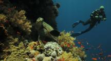 Sea Turtle Rests On Coral Reef, Being Cleaned, Diver Behind