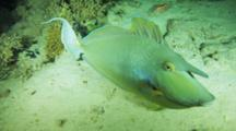 Unicorn Fish Swims Over Sandy Bottom, Investigates Camera
