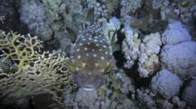 Porcupine Fish Swims Slowly Over Reef