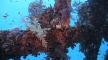 Soft Corals And School Of Glassy Sweepers Inside Wreck