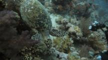 Diver Photographs Sea Turtle Swimming Over Reef