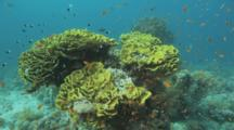 Small Fish Around Cabbage Or Lettuce Coral Outcrop