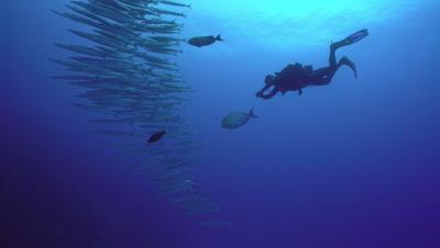 Diver following school of Hellers barracuda from below