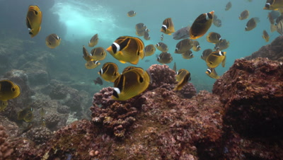 Racoon butterfly school drifting in surge, shallow reef