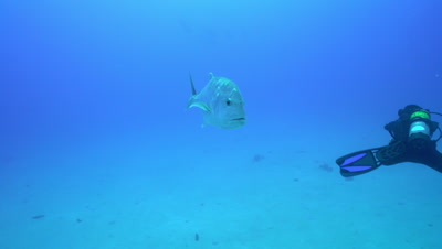 Giant trevally ulua approach and turn in front of divers
